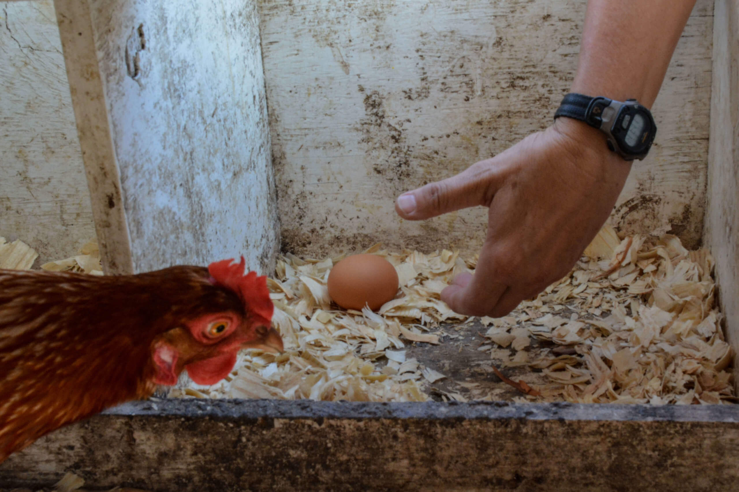 A hand picking up an egg while a chicken watches from nearby